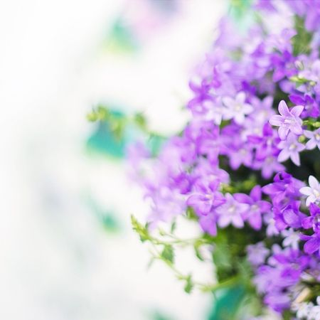 What is Lillac Essential oil? - Benefits of Lilac Essential Oil